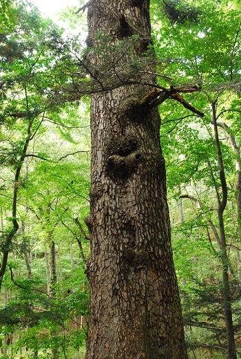 長い時間をかけて育った大木